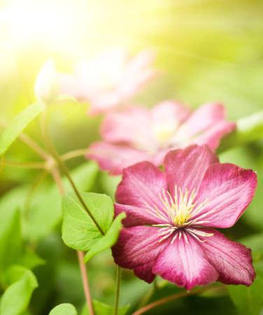 clematis flower: Clematis flower
