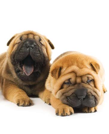Two beautiful sharpei puppies Stock Photo - 3457855
