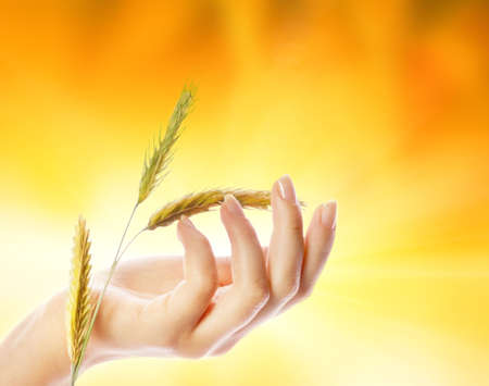 Womans hand with wheat herb photo