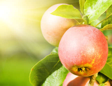 apple trees: Ripe apples close-up shot Stock Photo