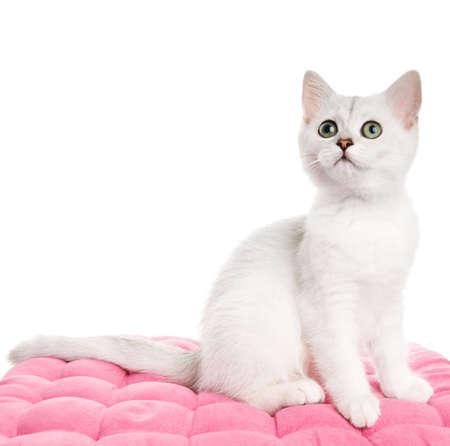 british kitten: Beautiful british kitten sitting on a pink pillow. Isolated on white background
