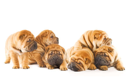 Group of beautiful sharpei puppies isolated on white background photo