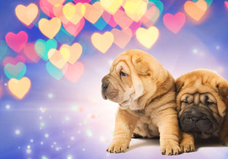 Two shar-pei puppies in love photo