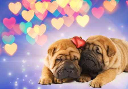 Two shar-pei puppies in love Stock Photo - 4079676