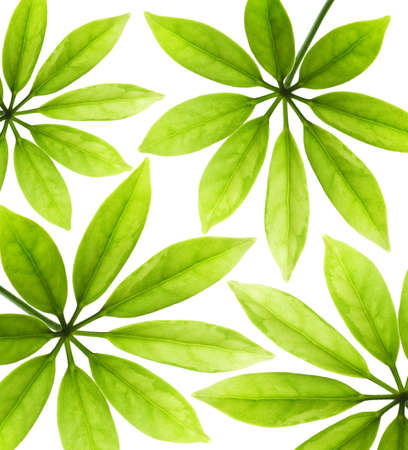 fragments: Fresh green leaves isolated on white background