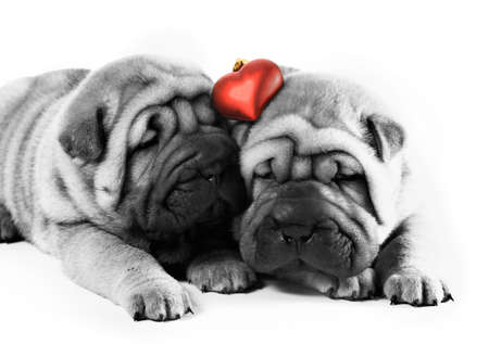 Two sharpei puppies in love photo