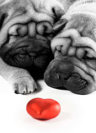 valentines dog: Two sharpei puppies in love