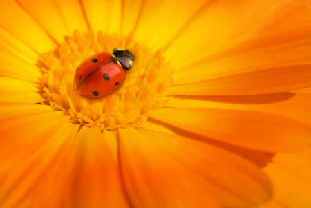 Ladybug sitting on a flower Stock Photo - 4297956