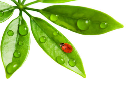 Ladybug sitting on a fresh green leaf. Stock Photo - 4380382