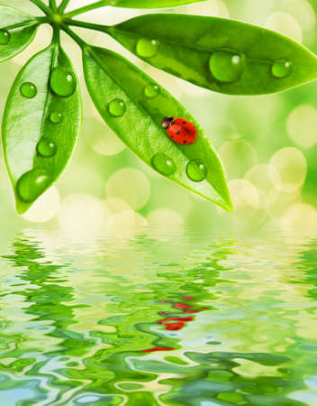 Ladybug sitting on a green leaf reflected in water photo