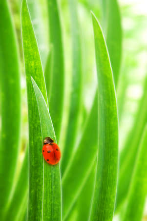 Ladybug sitting on a green grass (shallow DoF) photo