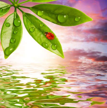 Ladybug sitting on a green leaf photo