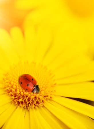 Small ladybug sleeping on yellow flower's petals Stock Photo - 4843605