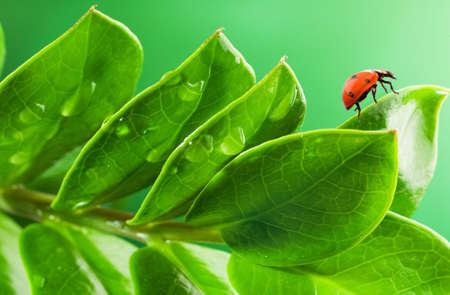 Ladybug on a fresh green leaves Stock Photo - 5246523