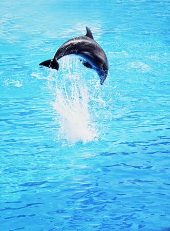 dolphin jumping: Dolphin jumping in the sea