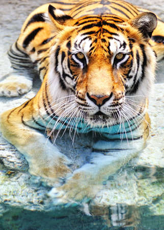 tiger hunting: Picture of a bengal tiger near the water