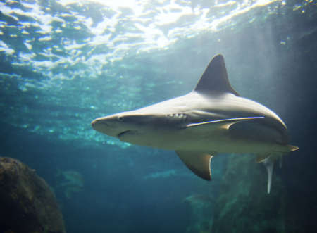 oceanic: Picture of a shark Stock Photo