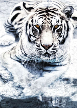 Picture of a silver tiger Stock Photo - 5756541