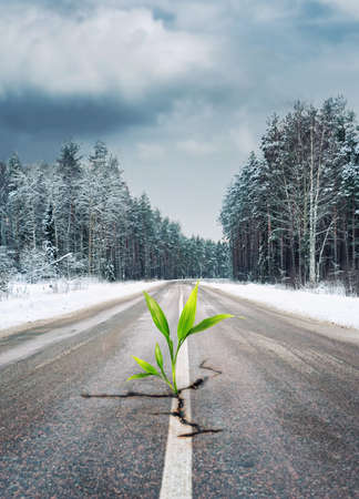 Green plant growing through the road in winter forest photo