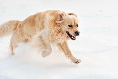 Golden retriever running in the snow Stock Photo - 6268409