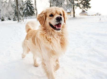 Golden retriever running in the snow Stock Photo - 6268411