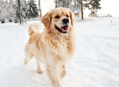 winter field: Golden retriever running in the snow Stock Photo