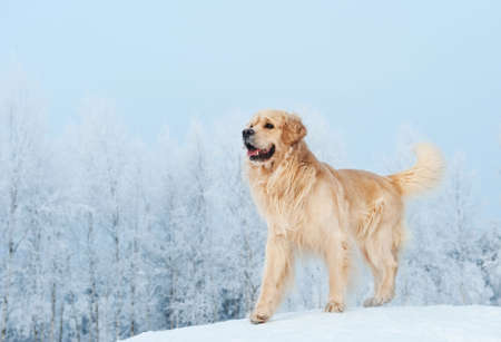 Golden retriever playing in the snow photo