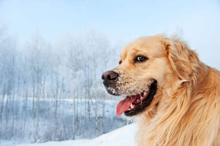 Portrait of a funny golden retriever photo