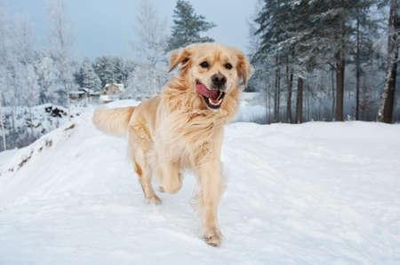 playful behaviour: Golden retriever running in the snow
