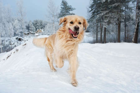 snow field: Golden retriever running in the snow