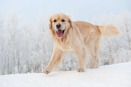 Golden retriever running in the snow   photo