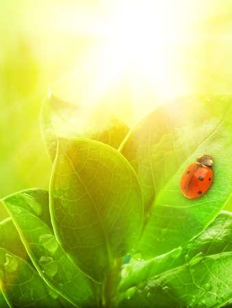 animal vein:  Ladybug sitting on a green leaf.  Stock Photo