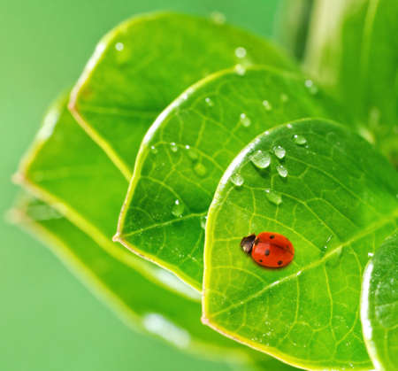 Ladybug on a fresh green leaves