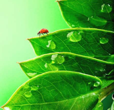 rain drop:  Ladybug on a fresh green leaves