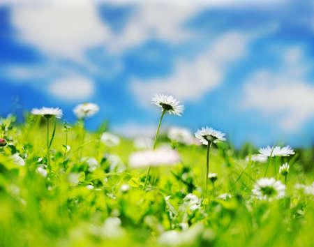 margriet: Daisy veld