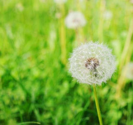Dandelion flower in the field photo
