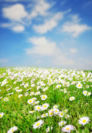 Daisy field over blue sky photo