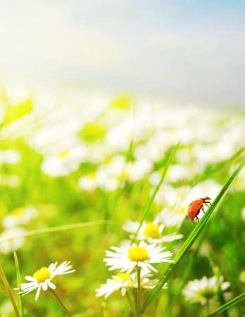 Daisy field photo