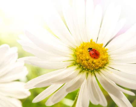 Ladybud sitting on a chamomile flower Stock Photo - 7287190