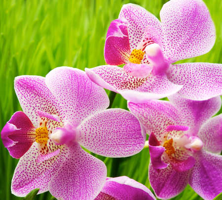 Beautiful orchid flowers over green grass background photo