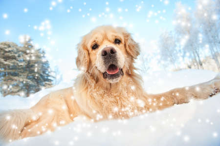 doggies: Lovely golden retriever playing in the snow