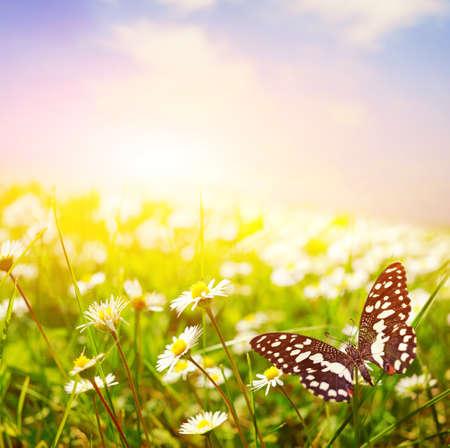 wschód słońca: Butterfly na polu daisy