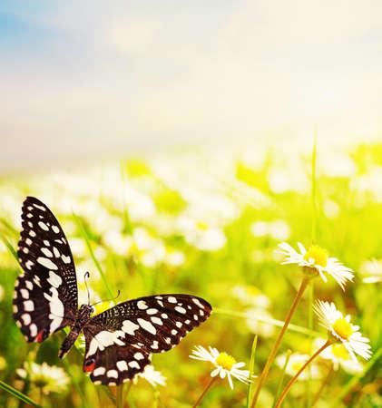 Farfalla su un campo di daisy Archivio Fotografico