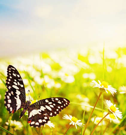 Mariposa en un campo de Margarita Foto de archivo