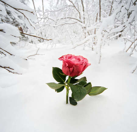 fresh snow: Beautiful rose in the snow Stock Photo