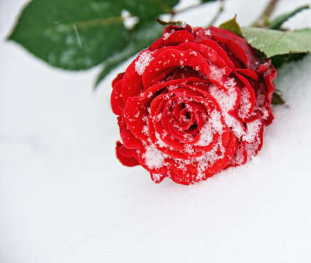 winter flower: Beautiful rose in the snow Stock Photo