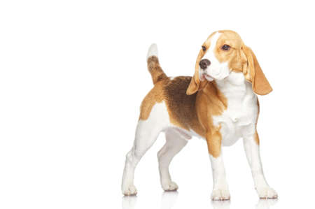 Beagle puppy isolated on white background photo