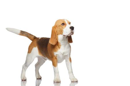 clumsy: Perro Beagle aislada sobre fondo blanco