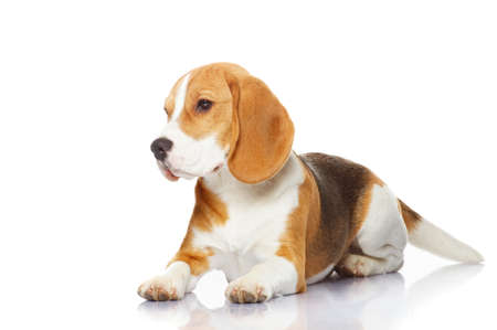 Beagle dog isolated on white background photo