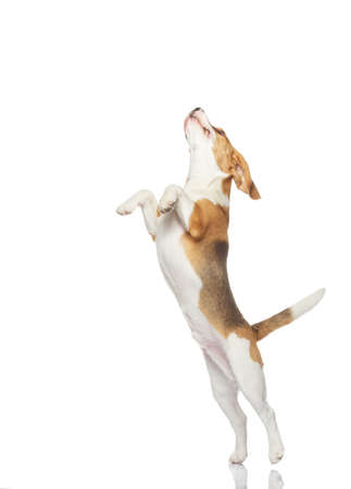 salto largo: Perro Beagle aislada sobre fondo blanco